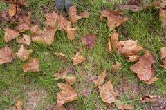 Spadać susi liście na trawie obraz royalty free