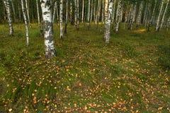 Spadać susi liście na trawie w brzoza lesie w jesieni Zdjęcia Stock