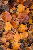 Spadać tulipanowego drzewa liście w jesieni Fotografia Royalty Free