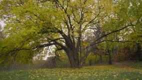 Spadać ulistnienie pod Starym drzewem na jesień Chmurnym dniu zbiory wideo