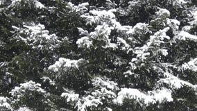 Spada śnieg - Conifer drzewa Podczas śnieżycy zbiory wideo