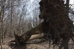 Spadać drzewa - burzy szkoda Fotografia Royalty Free