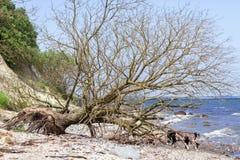 Spadać drzewo - faleza Zdjęcie Royalty Free