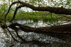 Spada? drzewo w jeziorze obraz royalty free