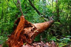 Spadać drzewo w lato lesie Zdjęcie Royalty Free