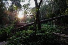 Spadać drzewo w lesie tropikalnym Zdjęcie Royalty Free