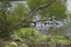 Spadać drzewo w powodzi Obraz Royalty Free