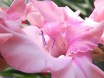 Spada-giglio rosa delicato Immagini Stock