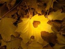 Spada jesień liści klonowych naturalny tło obrazy royalty free