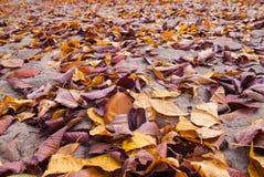Spada jesień liści klonowych naturalny tło Fotografia Stock