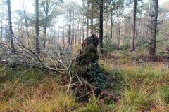 spadać korzeniowy drzewo Fotografia Royalty Free