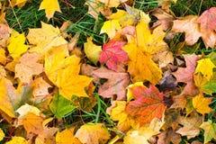 Spadać liście na zielonej trawie Obraz Royalty Free