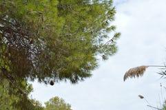 Spada sosna rożek Zdjęcie Royalty Free