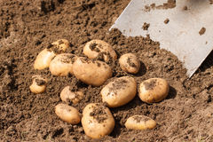 Spade digging up fresh potatoes Stock Image