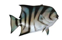 Spade fish Stock Photos