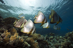 Spade fish at Yolanda reef Royalty Free Stock Photos
