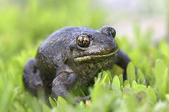 Spade foot toad - Pelobates fuscus. A spade foot toad male - Pelobates fuscus - close-up in the grass Royalty Free Stock Images