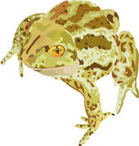 Spade-footed. Drawing of a amphibian toad vector illustration
