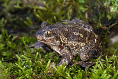 Spade footed toad Stock Photo