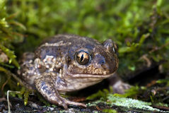 Spade footed toad Royalty Free Stock Images
