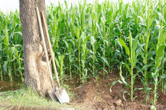 Spade and maize field Stock Photos