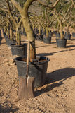Spade in a tree nursery Royalty Free Stock Photography