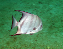 spadefish κολύμβηση Στοκ Εικόνα