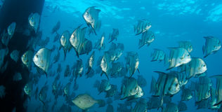 Spadefish Stock Photo