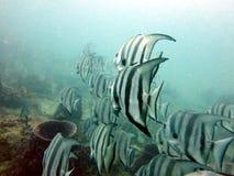 Spadefish Arkivbilder