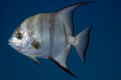 Spadefish. Atlantic Spadefish-Chaetodipterus faber, picture taken in south east Florida Stock Photography