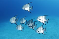 Spadefish Royalty Free Stock Photos