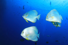 Spadefish (Batfish) Fotografering för Bildbyråer