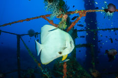 Spadefish (Batfish) being cleaned by cleaner wrasse underwater. Batfish and cleaner wrasse on an underwater wreck stock photography