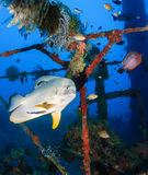 Spadefish being cleaned. Batfish and cleaner wrasse on an underwater wreck royalty free stock photography