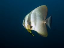 Spadefish Longfin Στοκ εικόνα με δικαίωμα ελεύθερης χρήσης