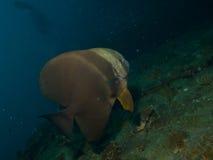 Spadefish Longfin Στοκ Φωτογραφία