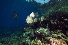 Spadefish in the Red Sea. Stock Photography