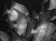 Spadefish Tails. In Black and White Royalty Free Stock Photo
