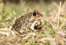 Spadefoot toad Royalty Free Stock Photo