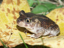 Spadefoot Toad (Scaphiopus holbrookii). At Horseshoe Lake State Fish and Wildlife Area in southern Illinois Stock Photography