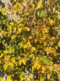 Spadek, kolor żółty opuszcza na ścianie, jesieni życie wciąż obraz stock