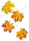 spadek leafs klon Zdjęcie Stock