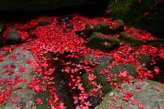 spadek liść klonu czerwień Zdjęcia Royalty Free