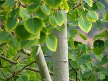 spadek osikowy drzewo Zdjęcia Royalty Free