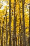 spadek osikowy las Obrazy Royalty Free