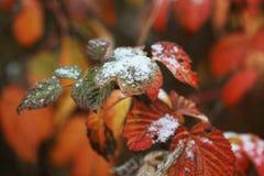 spadek póżno Zbliżenie czerwony liść z śniegiem zdjęcie royalty free