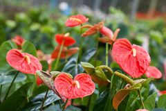 Spadice (botanica) Fotografia Stock