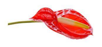 Spadix, κόκκινο anthurium λουλούδι που απομονώνεται στο άσπρο υπόβαθρο Στοκ Φωτογραφίες
