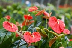 Spadix (botany) Stock Photo