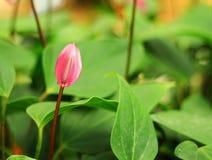 Spadix flower Stock Photo
